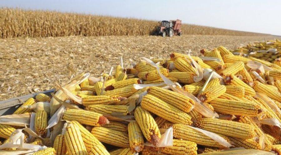 Center milho colheita