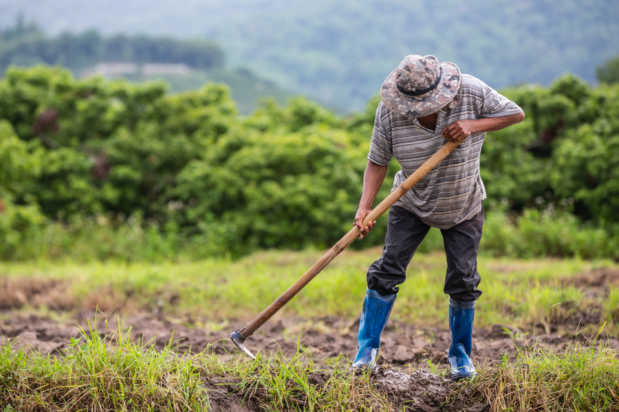 Center a male farmer who is using a shovel to dig the soil in his rice fields